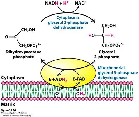 creatine glycerol phosphate kevin ahern s biochemistry bb 451 551 at oregon state