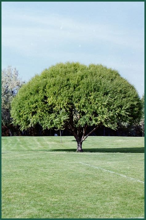 good backyard trees 9 best images about my favorite trees on pinterest trees weeping willow and super bowl