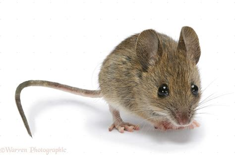 mouse in the house how to keep them away