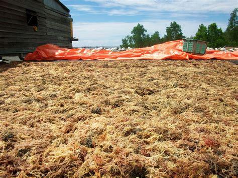 Gematama Laut Masa Depan Indonesia rumput laut indonesia melirik masa depan rumput laut