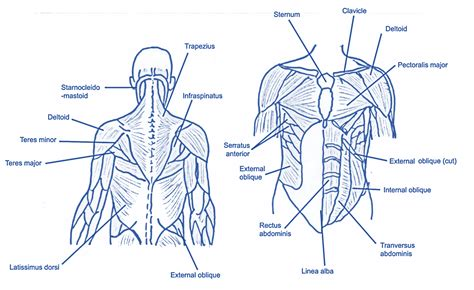 muscles in back muscles of the back gsebookbinderco download