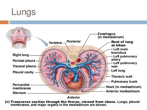 transverse section of lungs chapter 22 respiratory system 1
