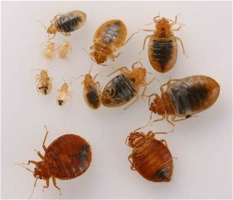 bed bug bait bedbugs won t take the bait uc berkeley college of