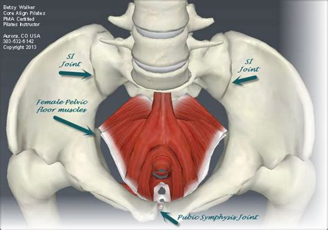 Pelvic Floor Muscles Diagram by What Does The Pelvis To Do With Exercises For Back