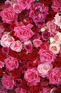 what do the colors of roses 14 color meanings what do the colors of roses