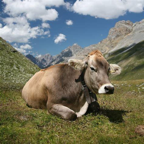 Define Cowhide - cattle