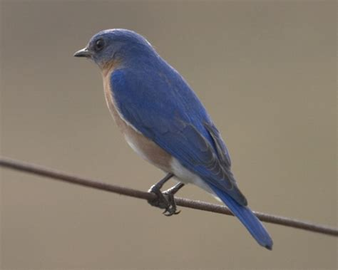 eastern blue bird in everglades national park photo