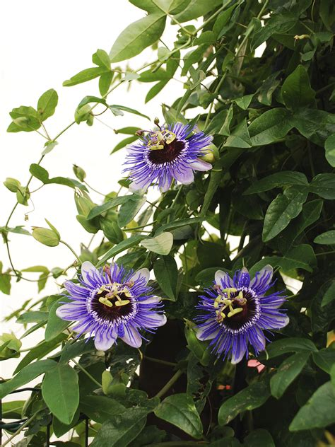 feeding passion flower vines how to fertilize a passion flower vine