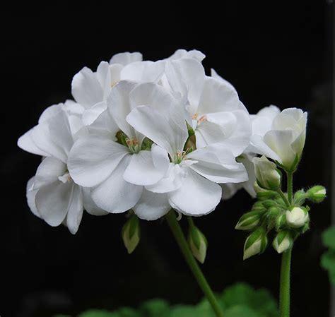 imagenes de rosas varios colores fotos de flores flores de geranios de varios colores