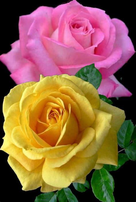 imagens de flores com frase flores e frases rosas