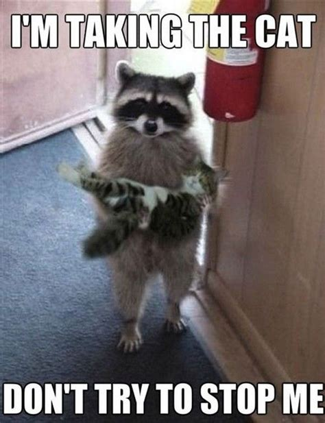 Funny Raccoon Meme - 17 best ideas about hilarious animal memes on pinterest