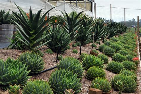 we offer succulents from the superb succulent gardens in castroville ca
