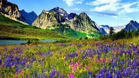 mountain flower  colorado blue  purple flowers