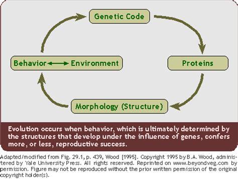 human evolution flowchart diet evolution and culture fruitarian reaction to