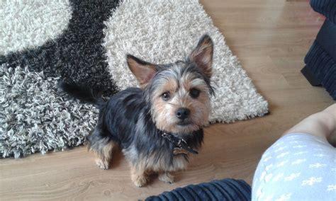 shih tzu and terrier shih tzu x terrier puppy mansfield nottinghamshire pets4homes