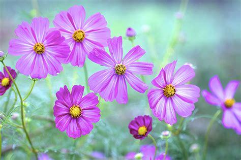 imagenes de flores llamadas violetas fondos de pantalla cosmos planta violeta color flores