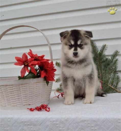 pomsky puppies for sale in ohio die besten 25 pomsky puppies for sale ideen auf zwergspitz zum verkauf
