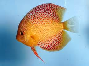 Fish Bio: Discus Fish   Aquaec Tropical Fish