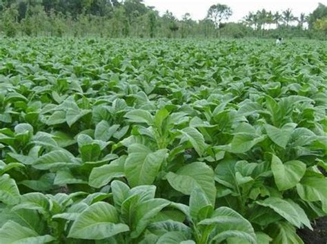 Ton Nasa Lele budidaya tembakau panduan budidaya agro