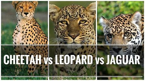 leopard vs jaguar pictures to pin on pinsdaddy