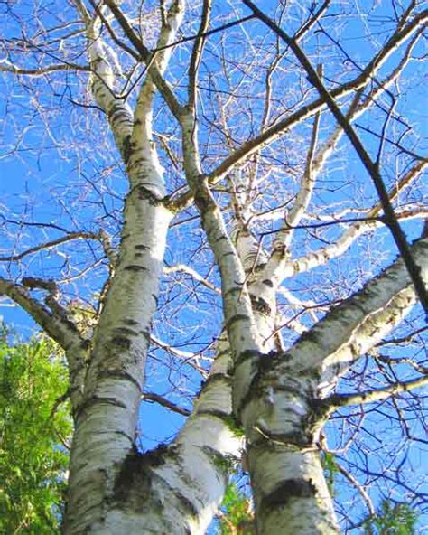 birch tree branches picture