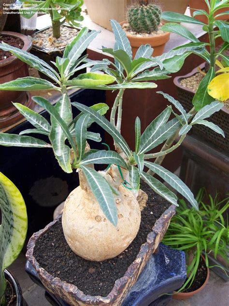 Adenium Somalense plantfiles pictures adenium adenium somalense by cactusjordi