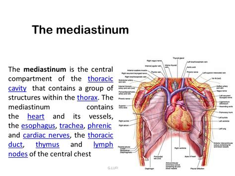 section 37 1 the circulatory system location of thoracic cavity location of circulatory system
