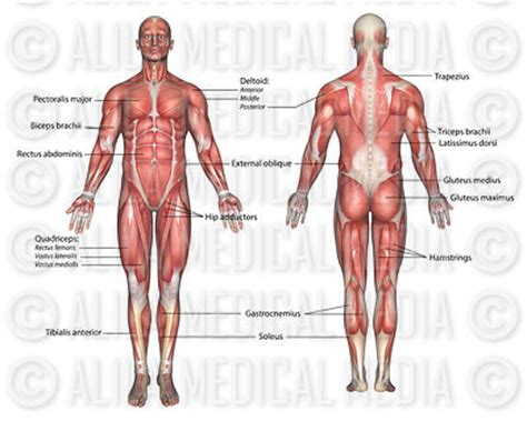 section 36 2 the muscular system alila medical media general anatomy