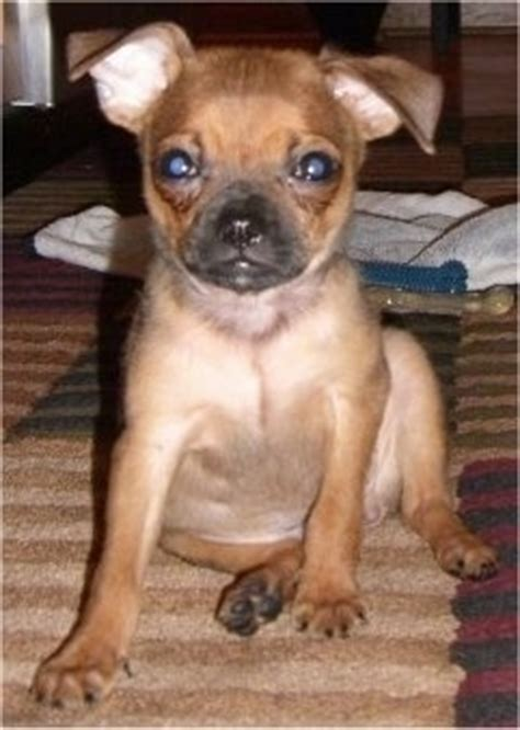half pug half chihuahua chug breed information breeds picture