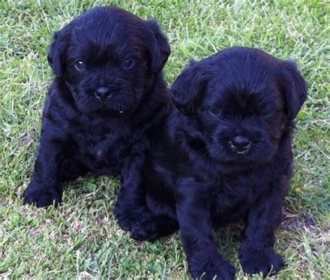 pug mix with poodle pug and poodle pug a poo pug mixed breeds poodles babies and pug