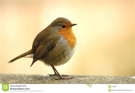 what color are robins robin stock image image of flight wildlife winter