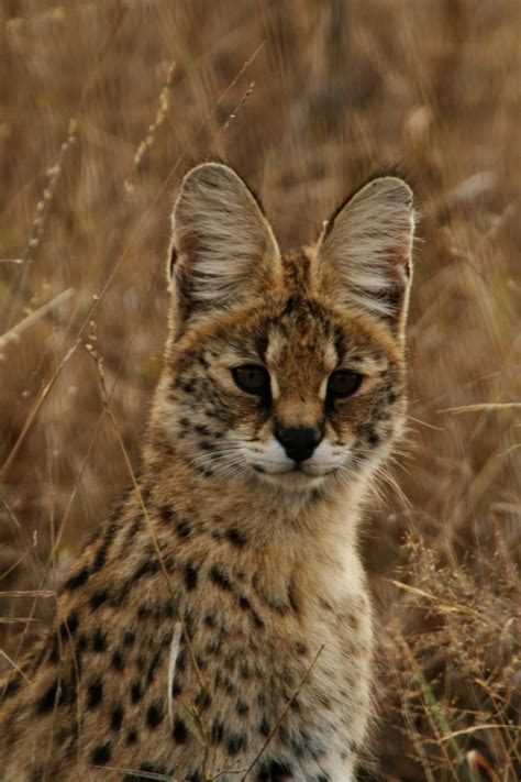 tom clark savanna cat serval quot always being there watchful even when we do not hear it quot