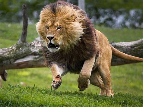 imagenes de leones fuertes fotos de leones diario animales