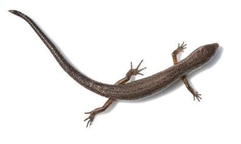 australian backyard lizards conditions right for garden skinks hawkesbury gazette