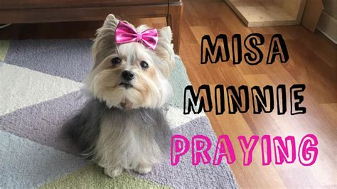 yorkie misa sweet tiny yorkie misa minnie praying
