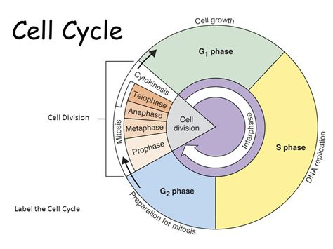 cell cycle diagram to label cell cycle and mitosis ppt