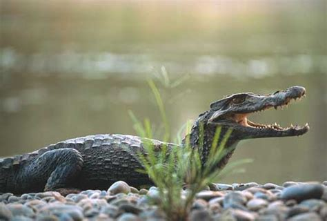 caiman facts info     wildlife