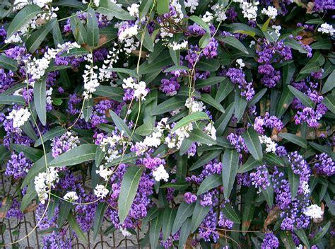 lilac climbing plant file hardenbergia violacea2 jpg