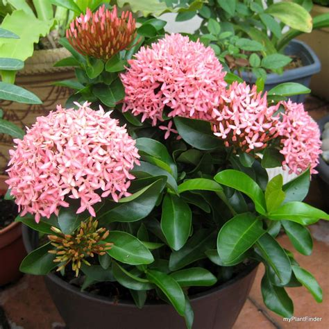 small flower plants ixora pink