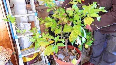 come curare il limone in vaso potatura pianta limone in vaso e come curare il limone