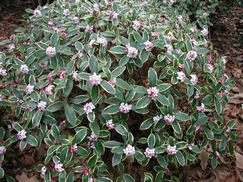 flowering shrubs zone 7 13 best images about landscaping on gardens