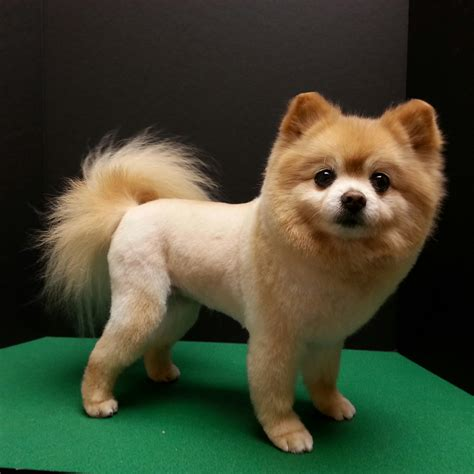 pomeranian with pomeranian haircut pom trim trim cut grooming by kristen