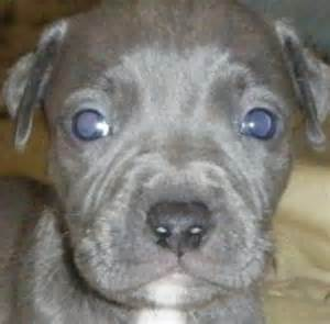 Blue nose pitbull puppies http www puppy 4 sale net blue pitbull