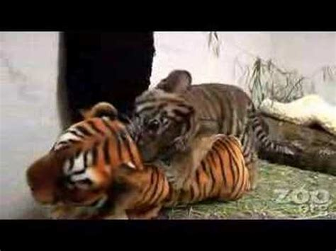 funny baby tiger youtube