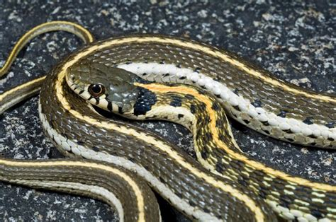 incredibly  tips  identify  garter garden snake