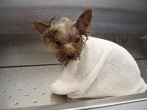 can yorkies eat bread club doggie mobile grooming salon pet toxins