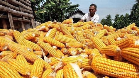 Produksi Jagung Pakan Ternak gpmt impor jagung pakan ternak akan melonjak 86