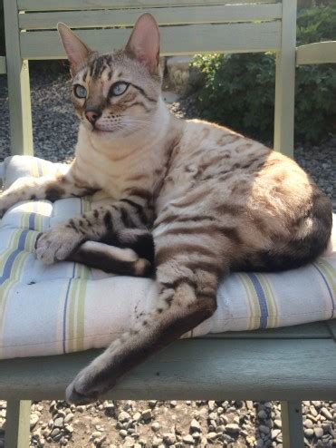 beautiful bengal kittens cats kittens for rehoming beautiful rosetted snow bengal for rehoming market