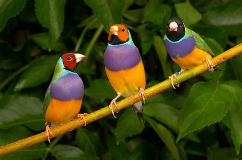 imagenes animales aves aves diamante de gould im 225 genes y fotos