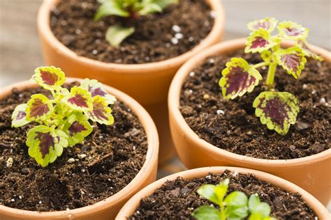 grow l for plants how to grow coleus plants indoors